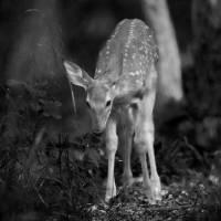 Deer Fawn-Black & White Series #9 Art Prints & Posters by Daniel Teetor