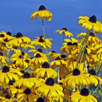 Black Eyed Susans 3843