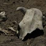 """""""2016-08-24 Broken Cow Skull"""" by rhamm"""