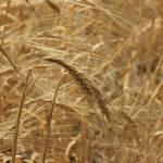"""""""Grain Field"""" by rhamm"""