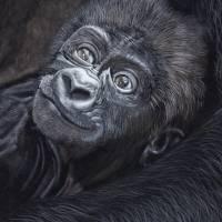 Baby Gorilla Art Prints & Posters by Raymond Ore
