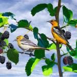 """Bullocks Orioles in Mulberry Tree"" by spadecaller"