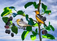 Bullocks Orioles in Mulberry Tree