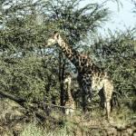 """Giraffe with Calf"" by KarenZukRosenblatt"