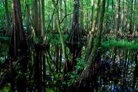Cypress Forest 2015-08-24_009