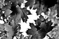 Darkened Leaves