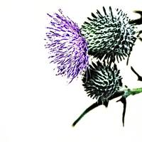 Hint of Thistle