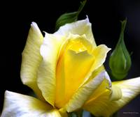 My Yellow Rose 009
