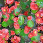 """Red Begonias"" by HeartlandPhotoArt"