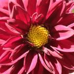 """""""Dahlia Spin"""" by Groecar"""