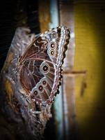 Common Owl Butterfly