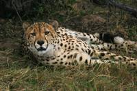 Watchfull Cheetah