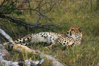 Reclining Cheetah2