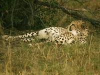 Reclining Cheetah Profile