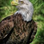 """Eagle Vision"" by DBenoit"