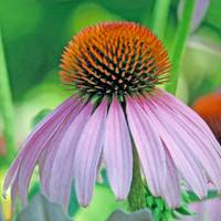 Single Echinacea Square Format