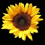 """SunflowerOne"" by NikkiLeck"