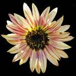 """SunflowerTwo"" by NikkiLeck"