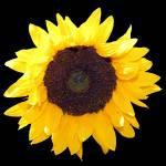 """SunflowerThree"" by NikkiLeck"