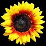 """SunflowerFour"" by NikkiLeck"