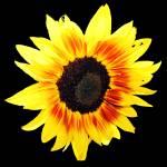 """""""SunflowerFive"""" by NikkiLeck"""