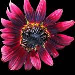 """SunflowerSix"" by NikkiLeck"