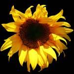 """SunflowerSeven"" by NikkiLeck"