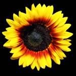"""SunflowerEight"" by NikkiLeck"