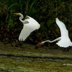 """Dance of the Egrets"" by shelshots"
