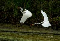 Dance of the Egrets