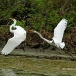 Dance of the Egrets - 3
