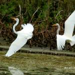 """Dance of the Egrets - 2"" by shelshots"
