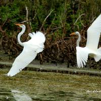 Dance of the Egrets - 2 Art Prints & Posters by Steve Shelasky