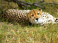 Reclining Cheetah