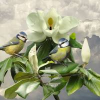 Blue Tits in Magnolia Tree by I.M. Spadecaller