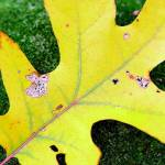 """Autumnal Oak Leaf"" by jasonscottmeans"