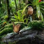 The Pacific Wren