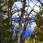 """Withered Tree at Crater Lake"" by memoriesoflove"