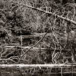 """Dead Trees in a small Pond black and white"" by memoriesoflove"