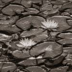 """Two Water lily in black and white"" by memoriesoflove"
