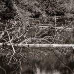 """Dead Trees in a Pond black and white"" by memoriesoflove"