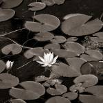 """Water lily in black and white"" by memoriesoflove"