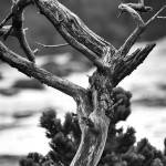 """Old tree by the sea black and white"" by memoriesoflove"