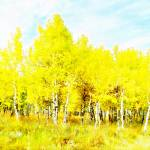 """Aspens in fall"" by lizmix"
