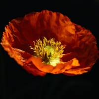 Floating Poppy Art Prints & Posters by C. Wilhite