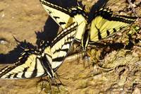 Appalachian Tiger Swallowtail