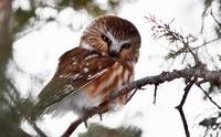 Northern Saw-Whet Owl 02