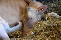 Jersey Dairy Cow_5056