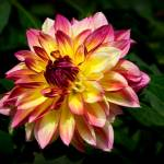 """Dahlia Flower"" by jwaldron"