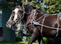 Horse Drawn Wagon_0219
